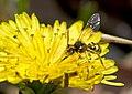 Кочёвка (пчела-кукушка) - Nomada succincta - Yellow-legged nomad-bee (26928860965).jpg