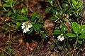 Кургальский полуостров, цветущая брусника.jpg