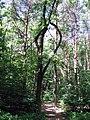 Лес в Еловщине. Фото Виктора Белоусова. - panoramio.jpg