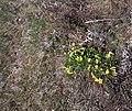 Омелькова гора Горицвіт весняний IMG 1982.jpg