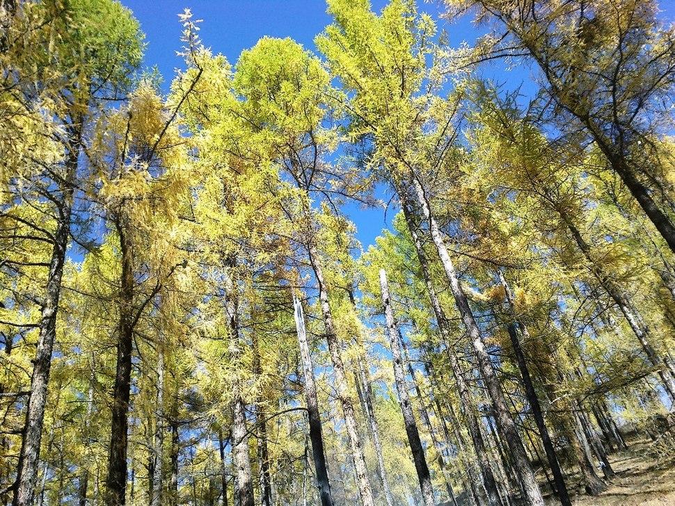 Осенний лес в горах Восточных Саян, Бурятия, Россия