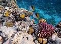 Рыбы-бабочки (Сhaetodon auriga) и (Chaetodon austriacus).DSCF5915BE.jpg
