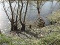Річка Стохід,парк відпочинку навесні, дерева погризені бобрами 01.jpg