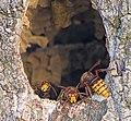 Шершень обыкновенный - Vespa crabro - European hornet - Европейски стършел - Hornisse (38510901732).jpg