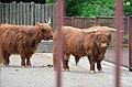 Шотландська високогірна худоба.jpg