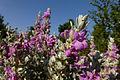 פרחים בישראל (171).JPG