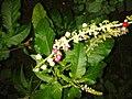 இரத்த நெல்லி 2 (Rivina Humilis ).jpg
