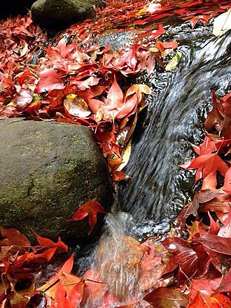 Phu Kradueng National Park - Red maple leaves during the winter season