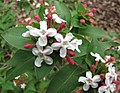 六道木屬 Abelia mosanensis -比利時 Ghent University Botanical Garden, Belgium- (9226998233).jpg