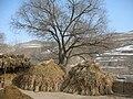 农家场院的大柳树 - panoramio.jpg