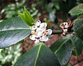 冬青屬 Ilex x altaclerensis 'Maderensis' -比利時 Leuven Botanical Garden, Belgium- (9226995699).jpg