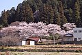 大仙寺の桜 (岐阜県加茂郡八百津町) - Panoramio 50824957.jpg