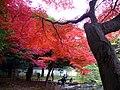 小石川植物園(2009.11.28撮影) - panoramio (2).jpg