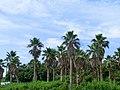 巨大な椰子の木のある通り - panoramio.jpg