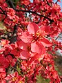 成都木瓜海棠 Chaenomeles cathayensis 'Chengdu' -南京莫愁湖 Nanjing Mochou Lake, China- (32744107524).jpg