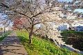 新川さくら並木(Shinkawa cherry trees) - panoramio (3).jpg