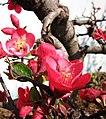 梅花 Armeniaca mume -昆明黑龍潭梅園 Kunming, China- (9207616468).jpg