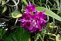 洋蘭 Cattleya sp. - panoramio.jpg