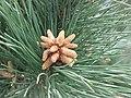 琉球松 Pinus luchuensis -香港花展 Hong Kong Flower Show- (9216099758).jpg