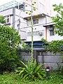 皇冠龍舌蘭 Agave attenuata Nerva - panoramio.jpg