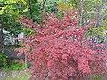紅葉 Red Leaves - panoramio.jpg