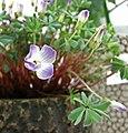 腺葉酢漿草 Oxalis adenophylla -香港花展 Hong Kong Flower Show- (33899142731).jpg