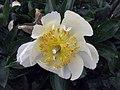 芍藥屬 Paeonia Claire de Lune -比利時 Ghent University Botanical Garden, Belgium- (9216068794).jpg