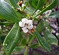 苦檻藍屬 Myoporum insulare -澳洲塔斯曼尼亞 Tasman Peninsula, Tasmania- (10855576905).jpg