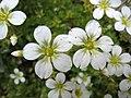 虎耳草屬 Saxifraga × arendsii -斯洛文尼亞 Bled Vintgar Gorge, Slovenia- (27704476895).jpg