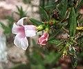 雙刺瓶干 Pachypodium bispinosum -哥本哈根大學植物園 Copenhagen University Botanical Garden- (36121244984).jpg
