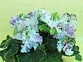 非洲紫羅蘭 Saintpaulia Cajun's Queen's Lace -香港北區花鳥蟲魚展 North District Flower Show, Hong Kong- (27502998579).jpg