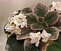 非洲紫羅蘭 Saintpaulia Lemon Cookie -香港花展 Hong Kong Flower Show- (33003413733).jpg