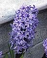 風信子 Hyacinthus orientalis Atlantic -香港花展 Hong Kong Flower Show- (9200964530).jpg