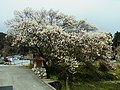 鶯宿梅 Ōshukubai (Ume tree) 2012.4.07 - panoramio.jpg