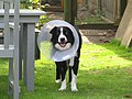 -2019-06-20 Dog with protective medical collar, Trimingham.JPG