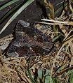 - 8770 – Catocala innubens – Betrothed Underwing Moth (14644661409).jpg