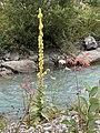 00 2263 Kleinblütige Königskerze (Verbascum thapsus).jpg