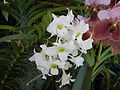 05441jfMidyear Philippine Orchid Show Quezon Memorial Circlefvf 20.JPG