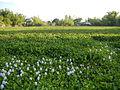 06319jfBarangay Flowers Pansinao Candaba Mount Arayat Pampanga Riverfvf 10.JPG