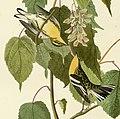 134 Hemlock Warbler (cropped) - two birds.jpg