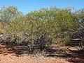 1 Acacia ligulata habit.jpg