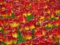 20090501-03 Tulpenweekend Nederland (0295).jpg