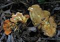 2012-01-28 Hygrophoropsis aurantiaca var. rufa D.A. Reid 197127.jpg