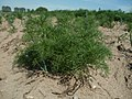 20120511Tripleurospermum inodorum5.jpg