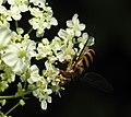 2013-06-07 13-47-59-syrphidae.JPG