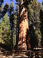 2013-09-20 11 05 25 General Sherman Tree.JPG