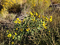 2014-09-08 08 43 01 Sunflowers along Interstate 80 near milepost 275 in Eureka County, Nevada.JPG