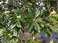 2014-12-30 13 03 00 Southern Magnolia foliage along Lake Boulevard in Ewing, New Jersey.JPG