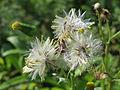 20141013Senecio vulgaris2.jpg