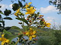 20150813Lysimachia vulgaris1.jpg